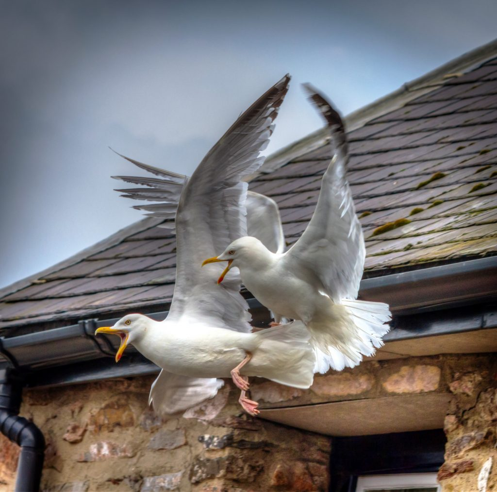 seagulls, flying birds in padstow, north cornwall