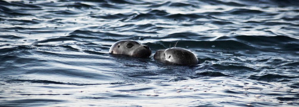 two seals the wildlife in north cornwall, cold water aquatic life