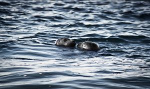 Canva Two Sea Lions in Ocean at Daytime 300x178 - Canva - Two Sea Lions in Ocean at Daytime