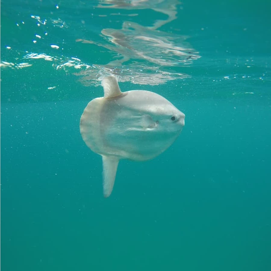 small sunfish in clear blue water, wildlife in the atlantic sea in north cornwall, taken with an underwater gopro camera