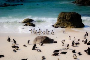 south africa surf road trip to see penguins on the beach 1 300x200 - south africa surf road trip to see penguins on the beach